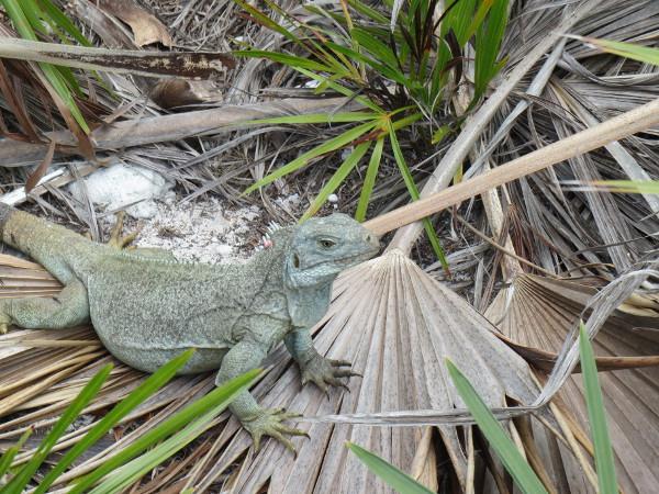 tci iguana