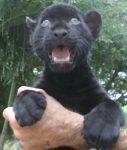 Junior black jaguar